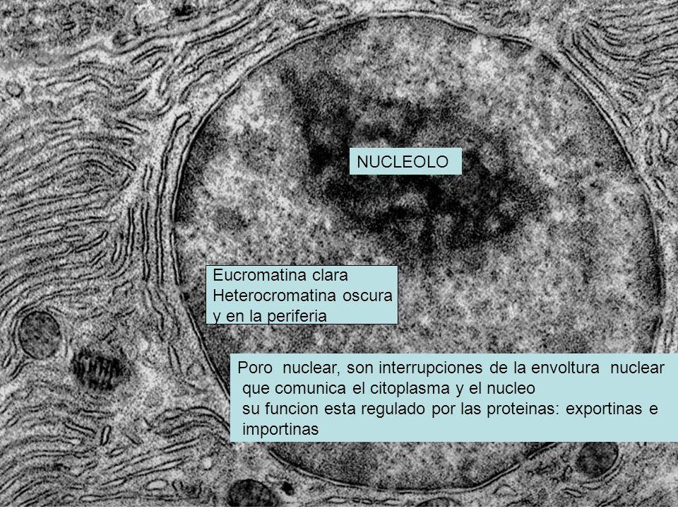 NUCLEOLO Eucromatina clara. Heterocromatina oscura. y en la periferia. Poro nuclear, son interrupciones de la envoltura nuclear.