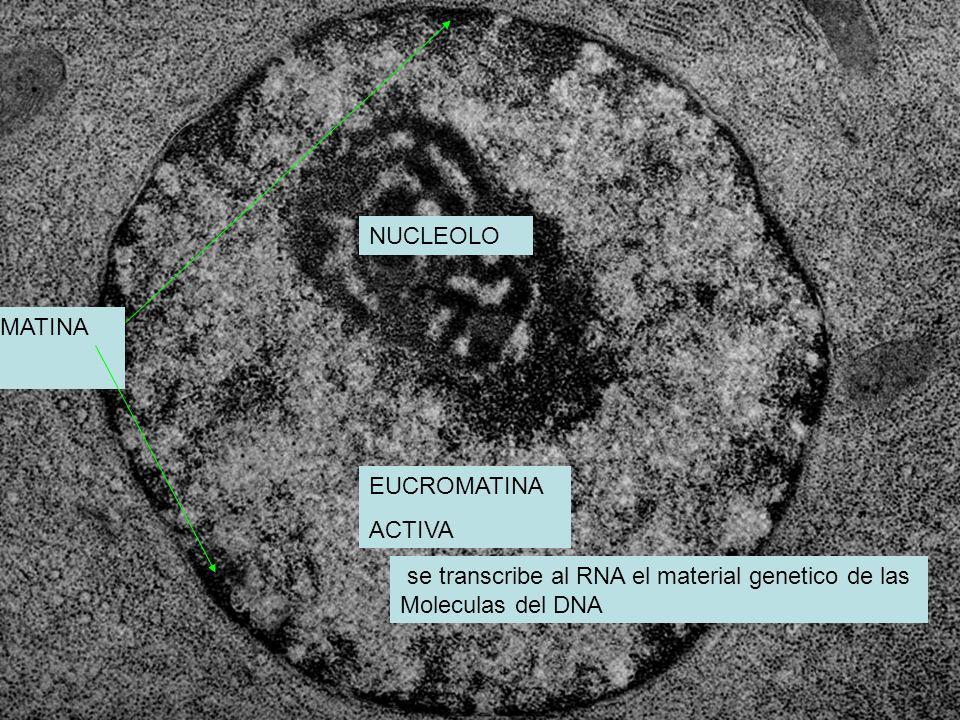 NUCLEOLO HETEROCROMATINA. INACTIVA. EUCROMATINA. ACTIVA. se transcribe al RNA el material genetico de las.