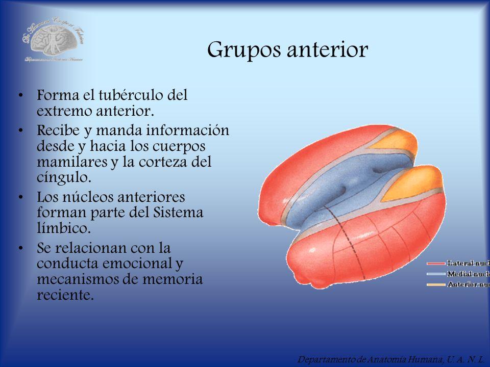 Grupos anterior Forma el tubérculo del extremo anterior.