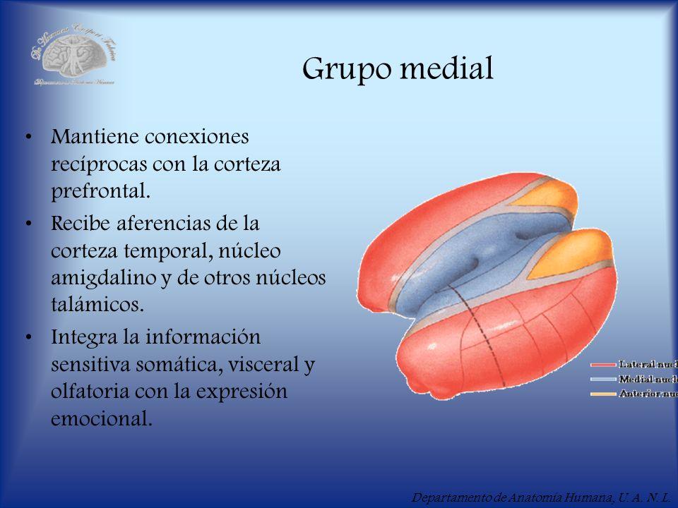 Grupo medial Mantiene conexiones recíprocas con la corteza prefrontal.