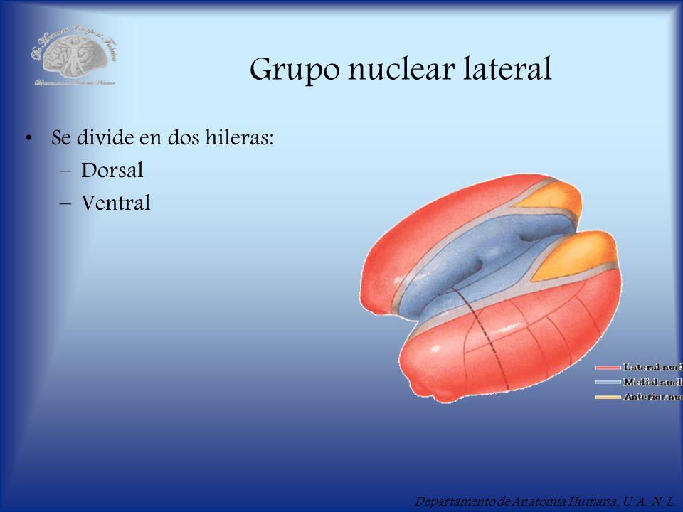 Grupo nuclear lateral Se divide en dos hileras: Dorsal Ventral