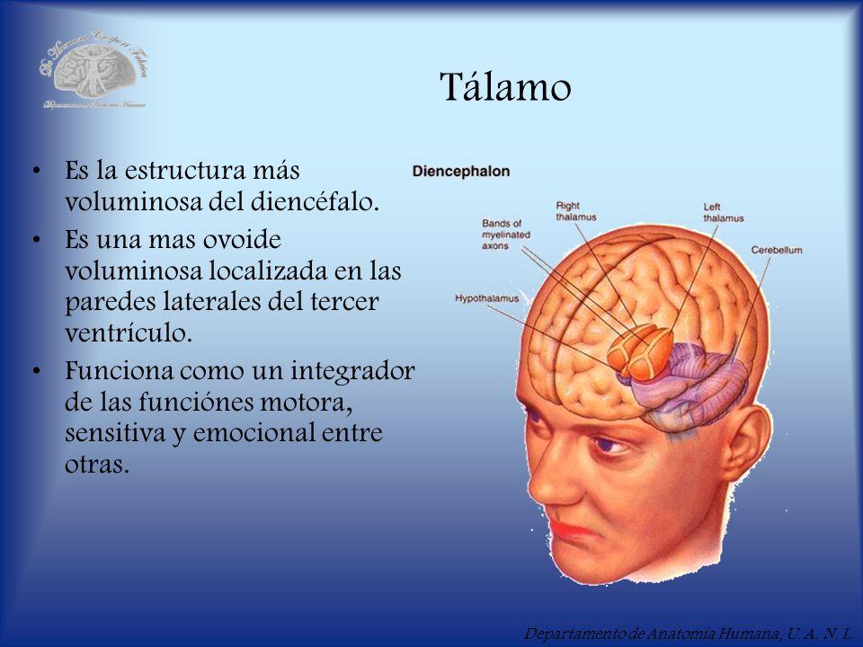 Tálamo Es la estructura más voluminosa del diencéfalo.