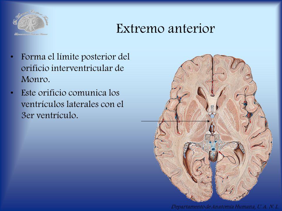 Extremo anterior Forma el límite posterior del orificio interventricular de Monro.