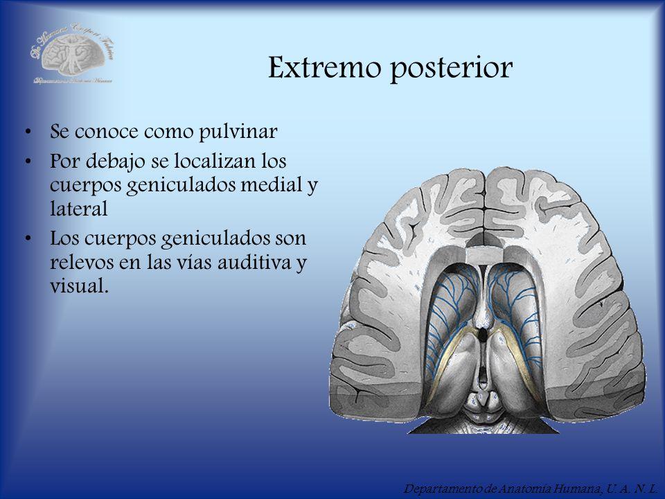 Extremo posterior Se conoce como pulvinar