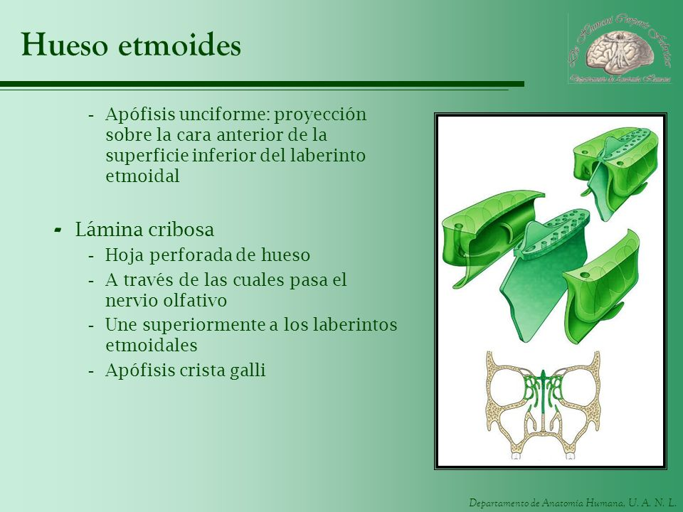 Hueso etmoides Lámina cribosa