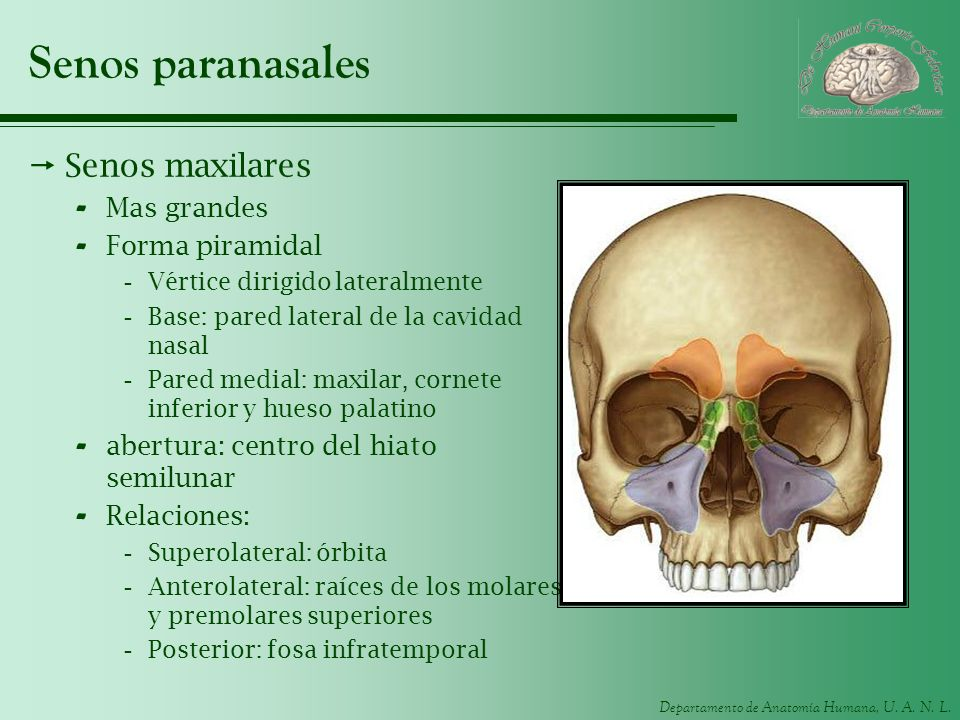 Senos paranasales Senos maxilares Mas grandes Forma piramidal
