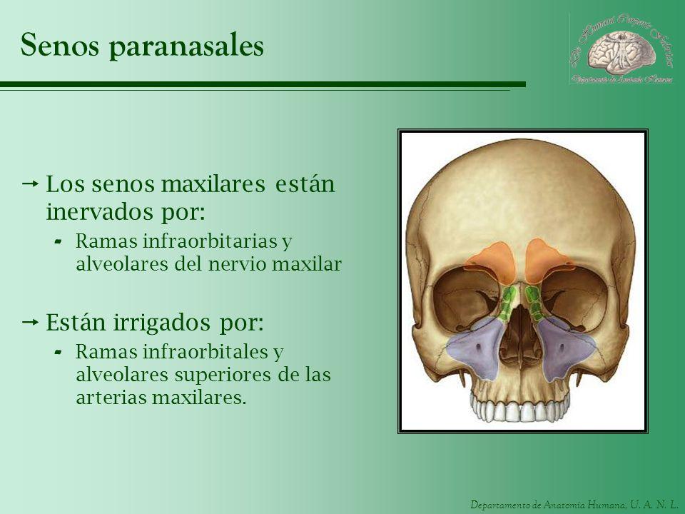 Senos paranasales Los senos maxilares están inervados por: