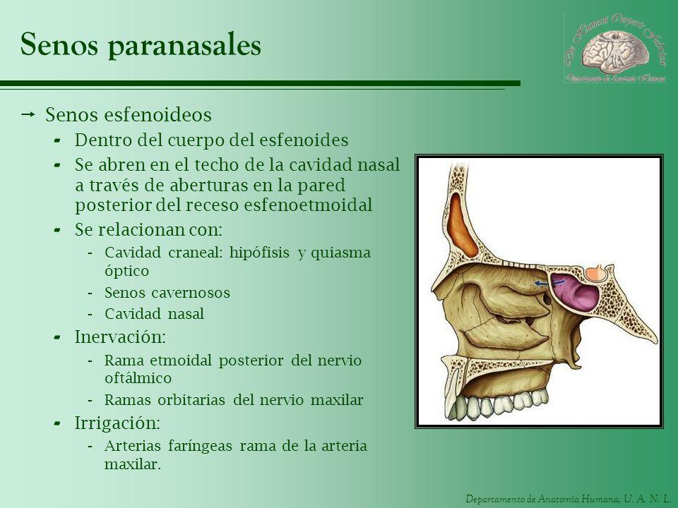 Senos paranasales Senos esfenoideos Dentro del cuerpo del esfenoides