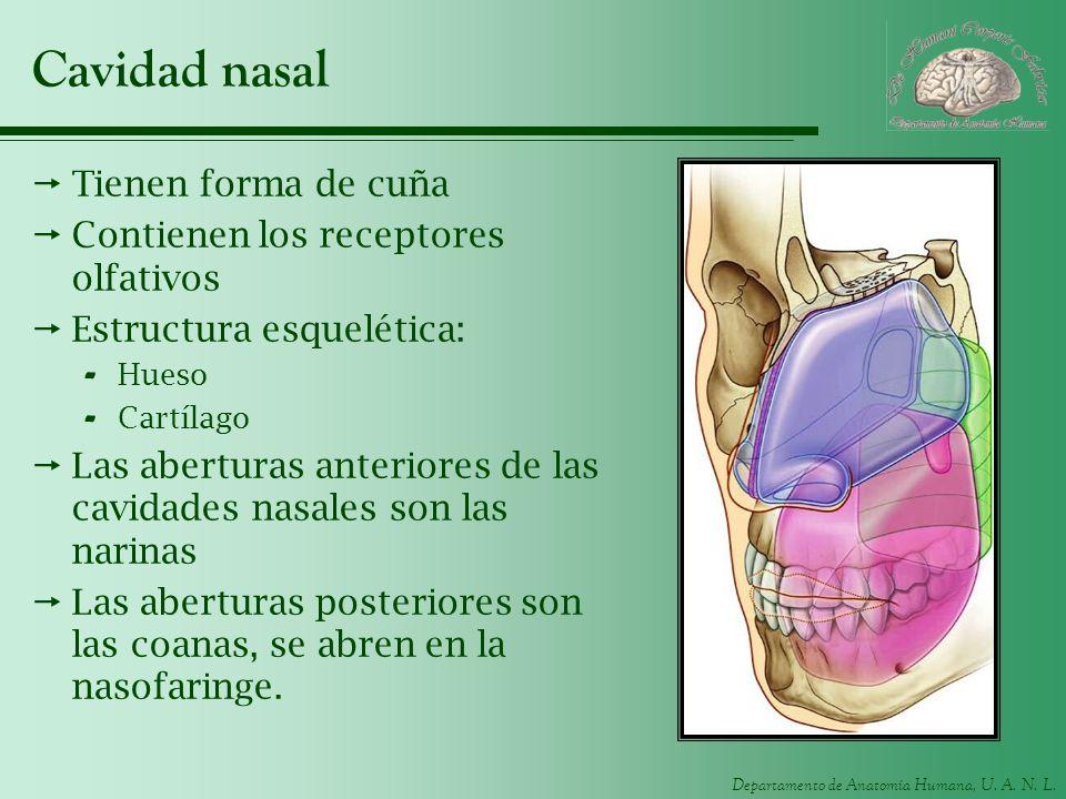 Cavidad nasal Tienen forma de cuña Contienen los receptores olfativos