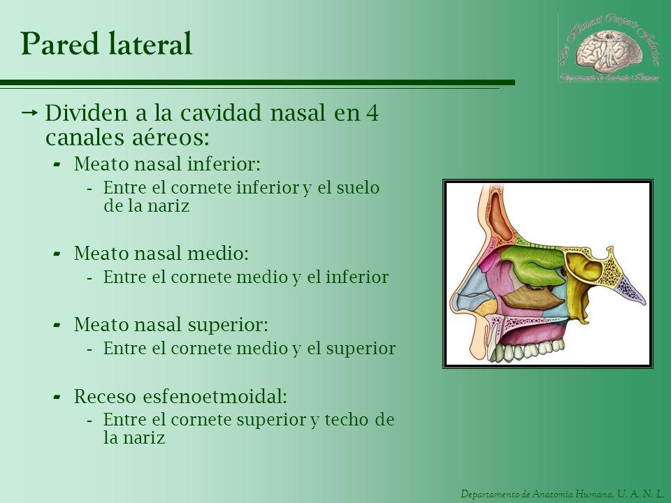 Pared lateral Dividen a la cavidad nasal en 4 canales aéreos: