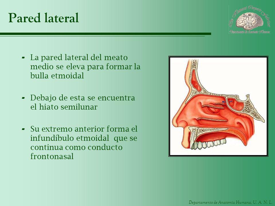 Pared lateral La pared lateral del meato medio se eleva para formar la bulla etmoidal. Debajo de esta se encuentra el hiato semilunar.