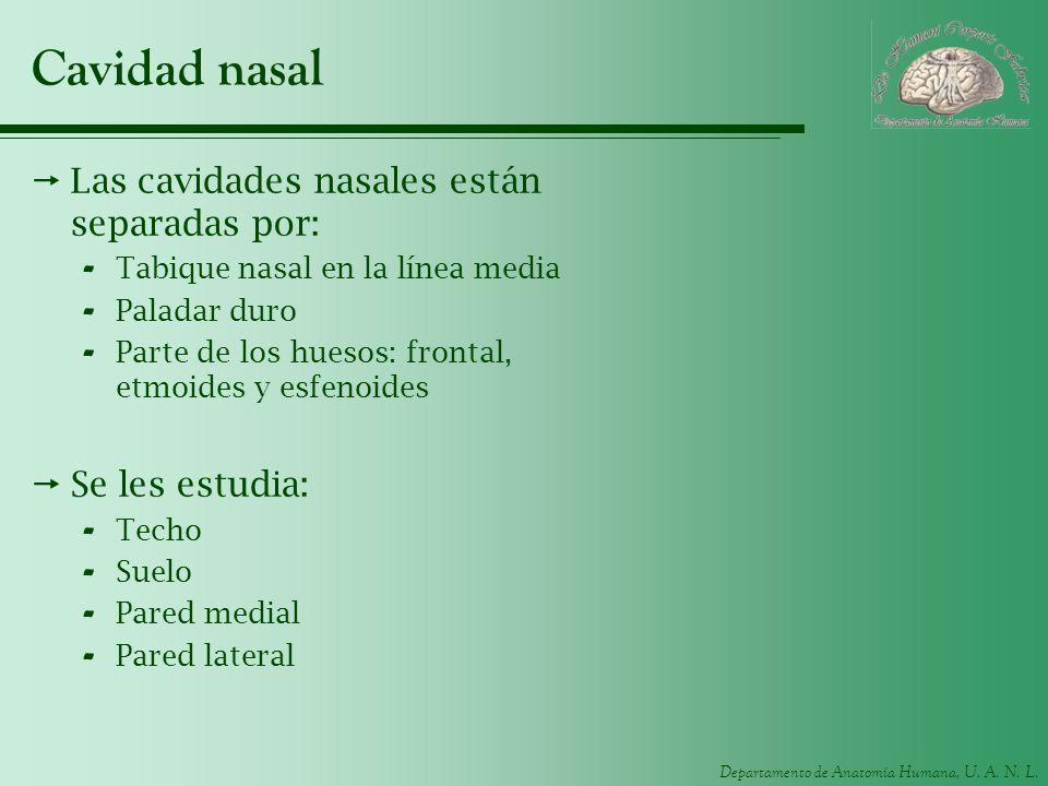 Cavidad nasal Las cavidades nasales están separadas por: