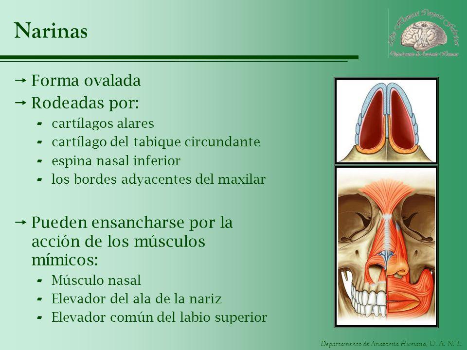 Narinas Forma ovalada Rodeadas por:
