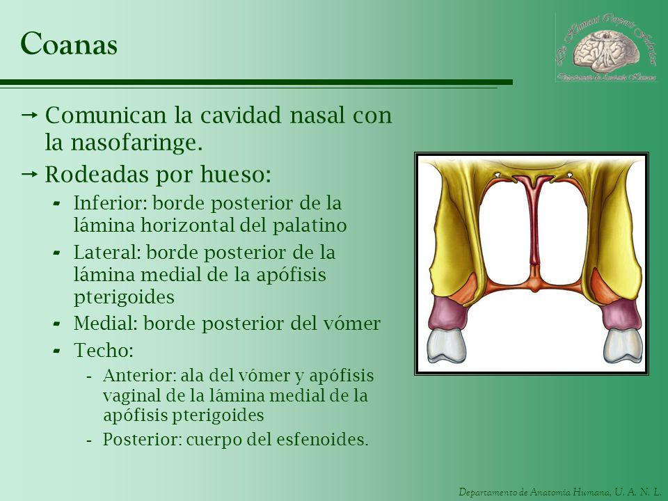 Coanas Comunican la cavidad nasal con la nasofaringe.