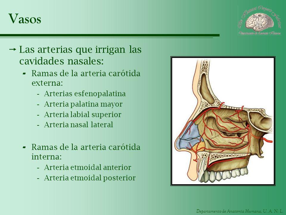 Vasos Las arterias que irrigan las cavidades nasales: