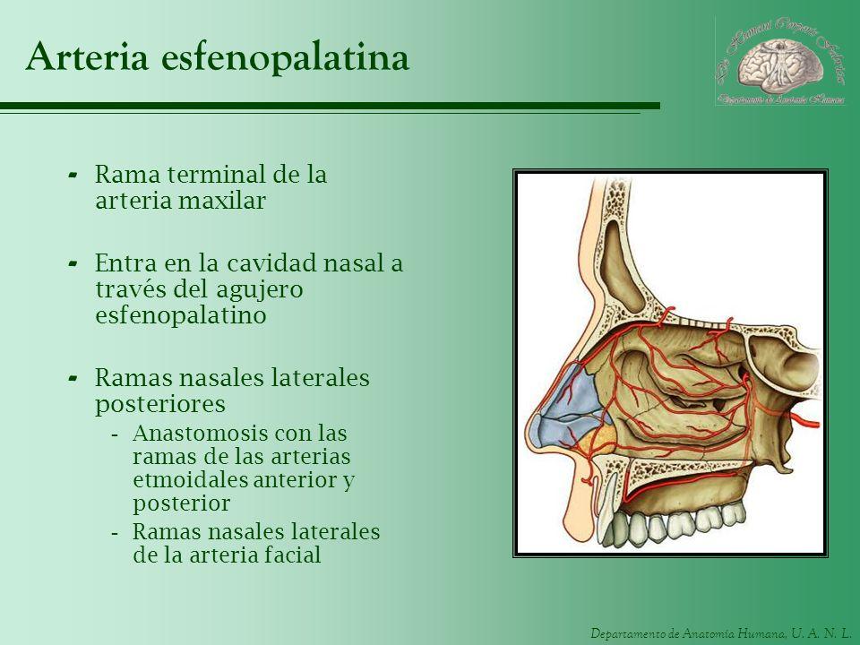 Arteria esfenopalatina