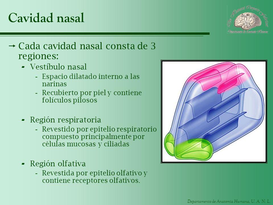 Cavidad nasal Cada cavidad nasal consta de 3 regiones: Vestíbulo nasal