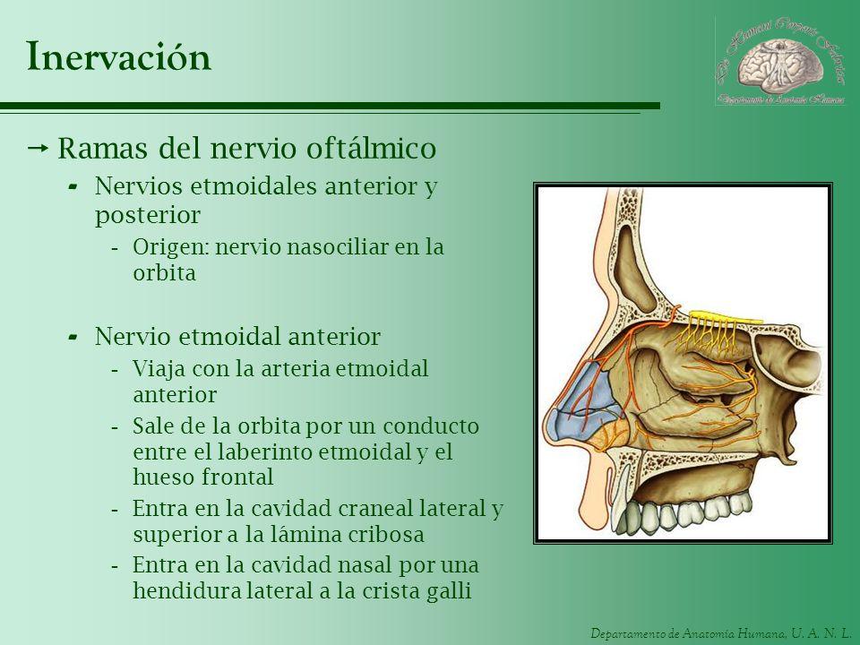 Inervación Ramas del nervio oftálmico