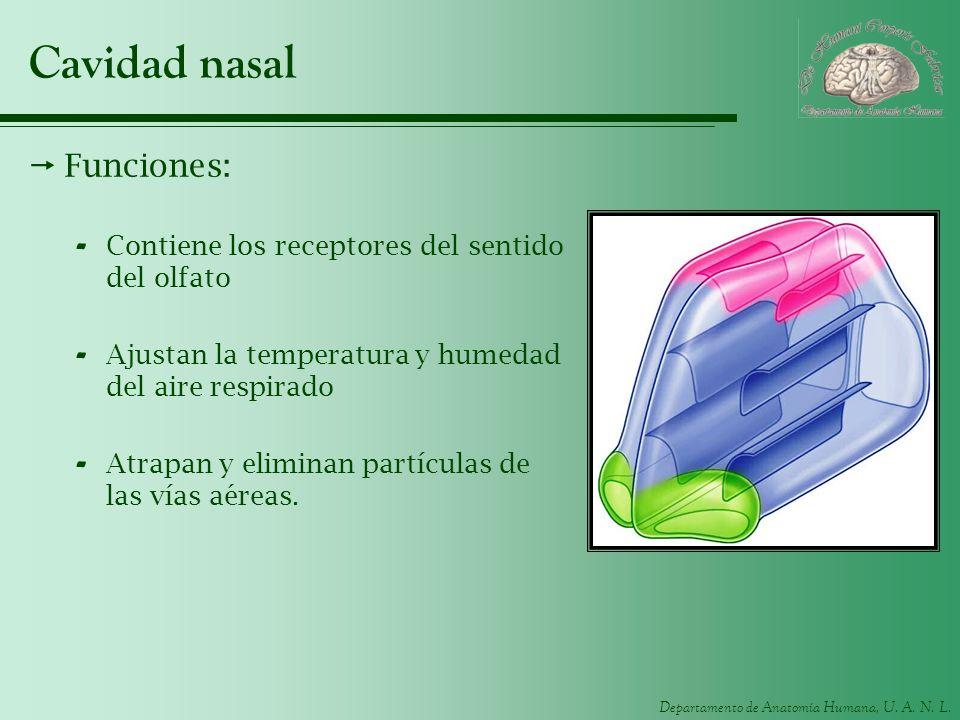 Cavidad nasal Funciones: