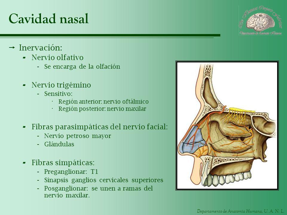 Cavidad nasal Inervación: Nervio olfativo Nervio trigémino