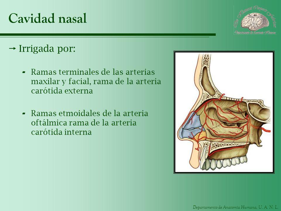 Cavidad nasal Irrigada por: