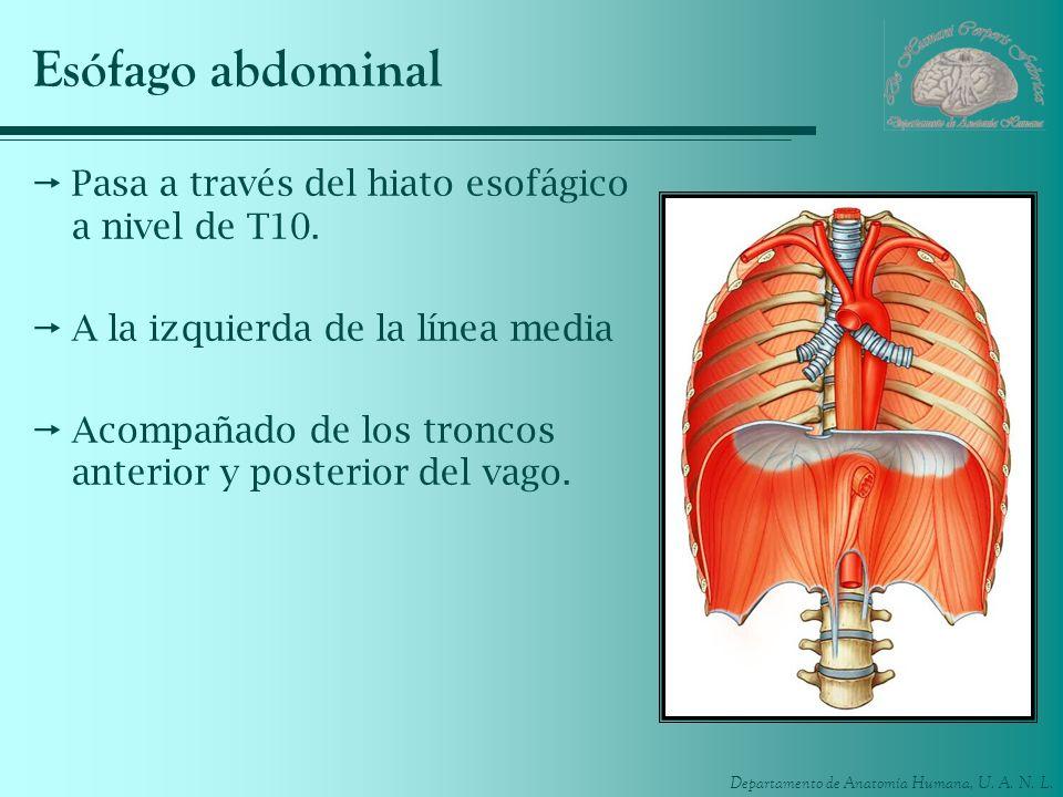 Esófago abdominal Pasa a través del hiato esofágico a nivel de T10.