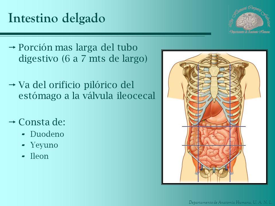 Intestino delgado Porción mas larga del tubo digestivo (6 a 7 mts de largo) Va del orificio pilórico del estómago a la válvula ileocecal.