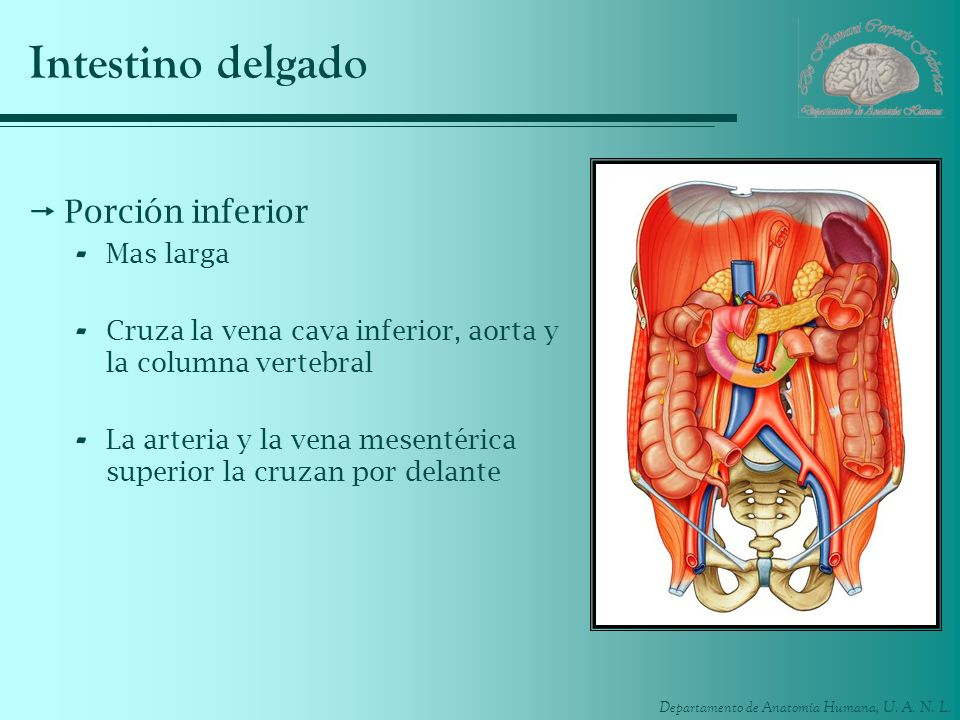 Intestino delgado Porción inferior Mas larga