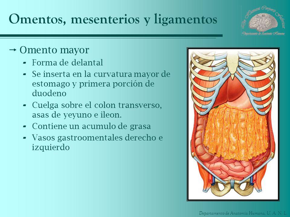Omentos, mesenterios y ligamentos