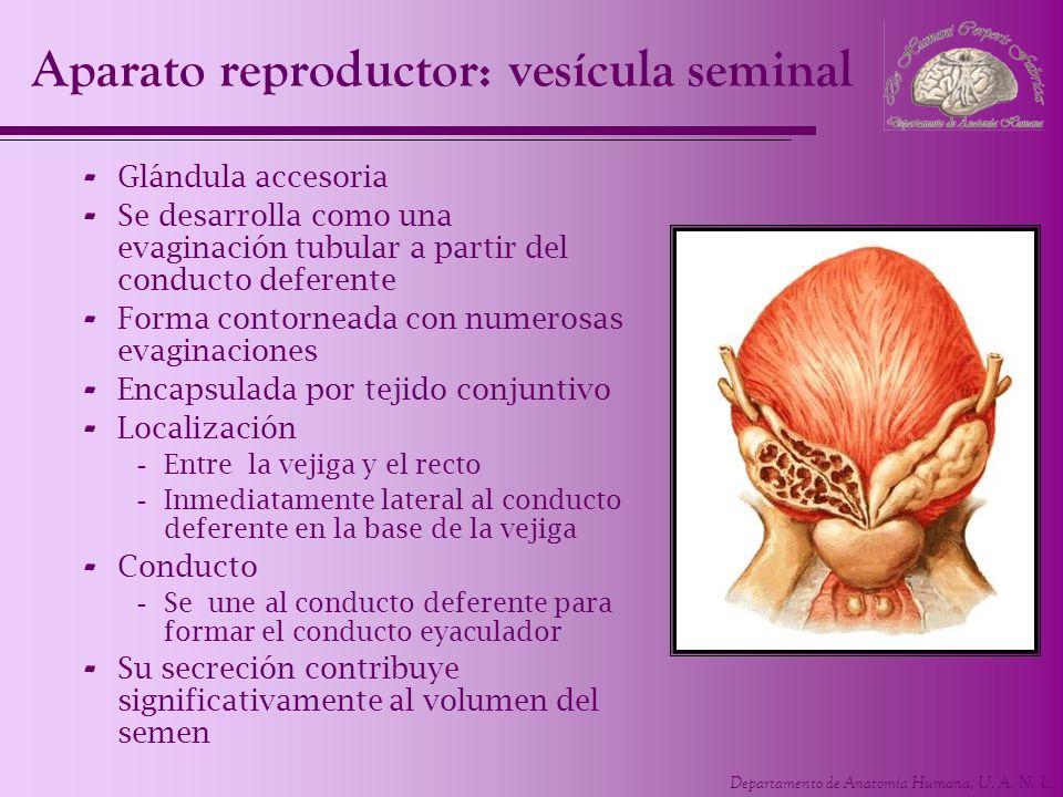 Aparato reproductor: vesícula seminal