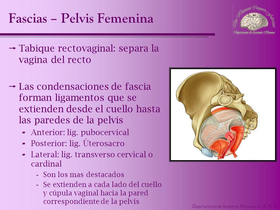 Fascias – Pelvis Femenina