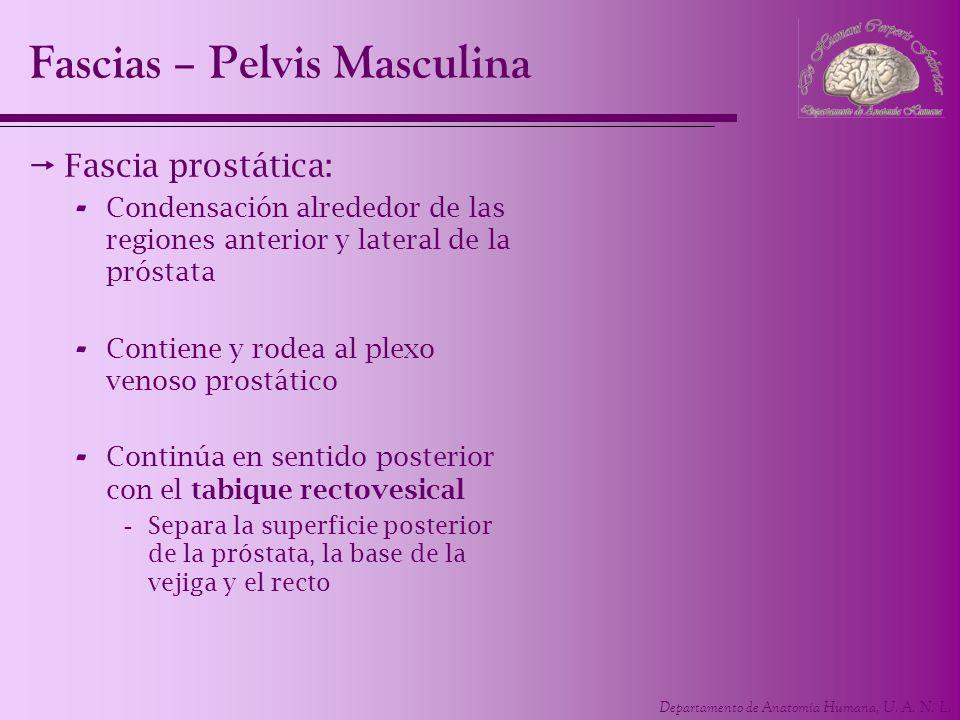 Fascias – Pelvis Masculina