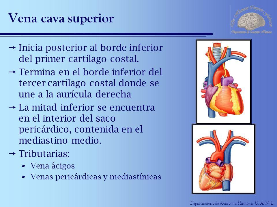 Moderno Anatomía De La Vena Cava Superior Modelo - Anatomía de Las ...
