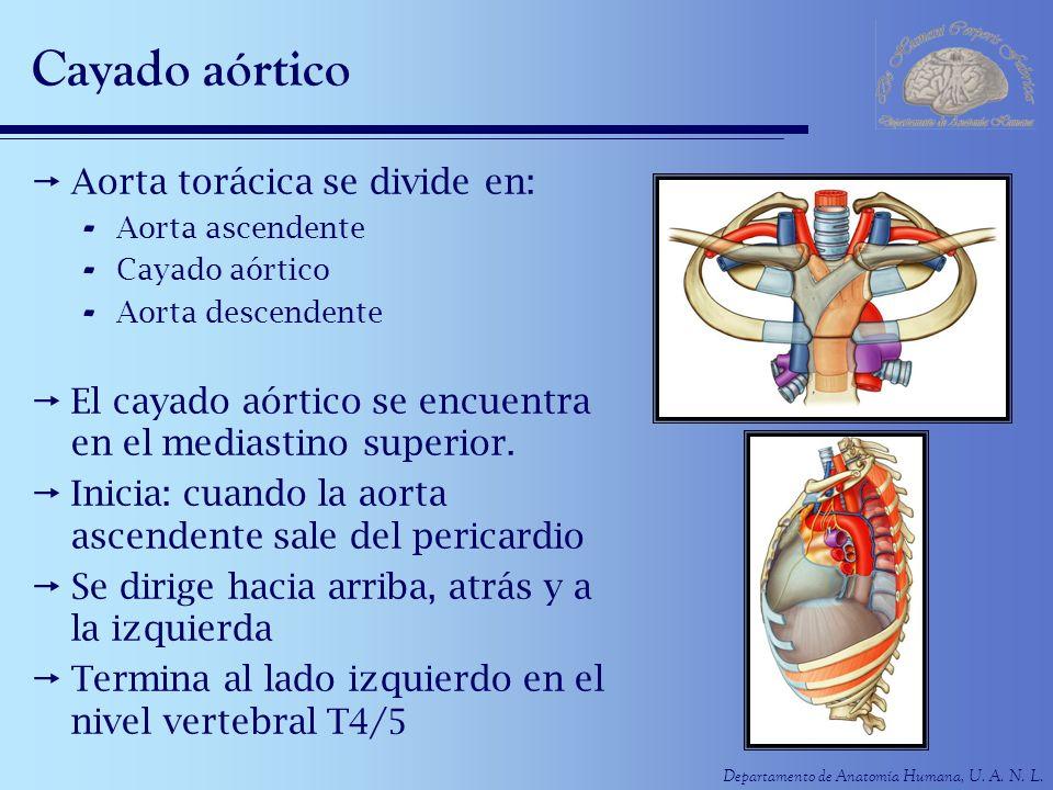 Cayado aórtico Aorta torácica se divide en: