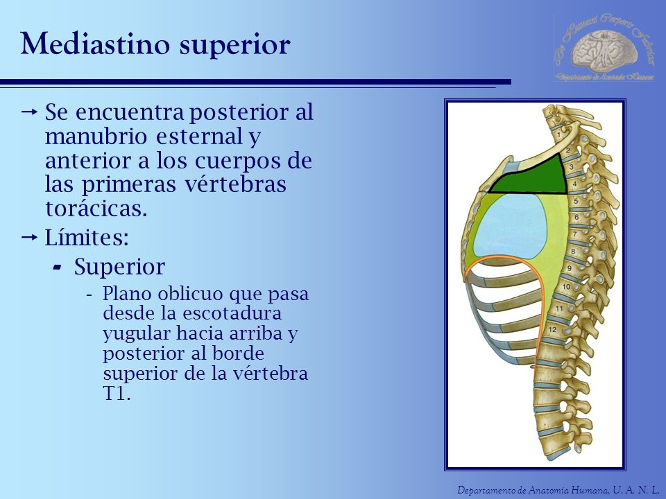 Mediastino superior Se encuentra posterior al manubrio esternal y anterior a los cuerpos de las primeras vértebras torácicas.