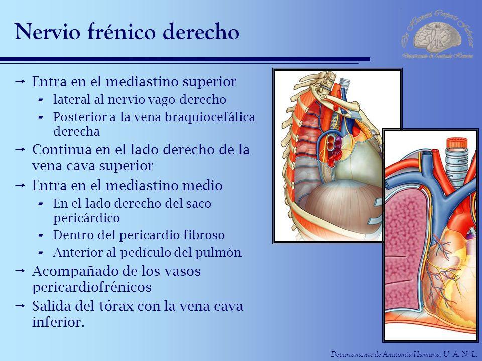 Nervio frénico derecho