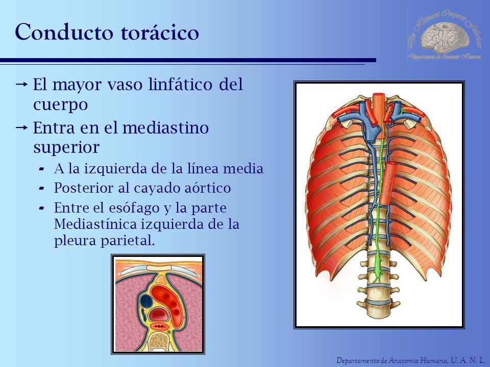 Conducto torácico El mayor vaso linfático del cuerpo