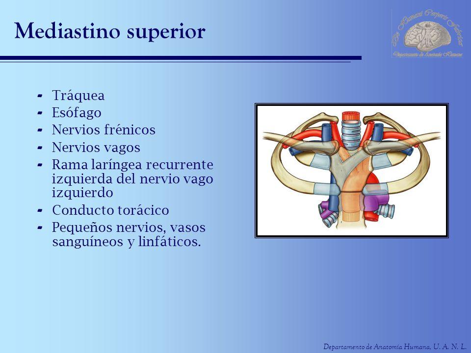 Excepcional Tráquea Esófago Anatomía Cresta - Imágenes de Anatomía ...