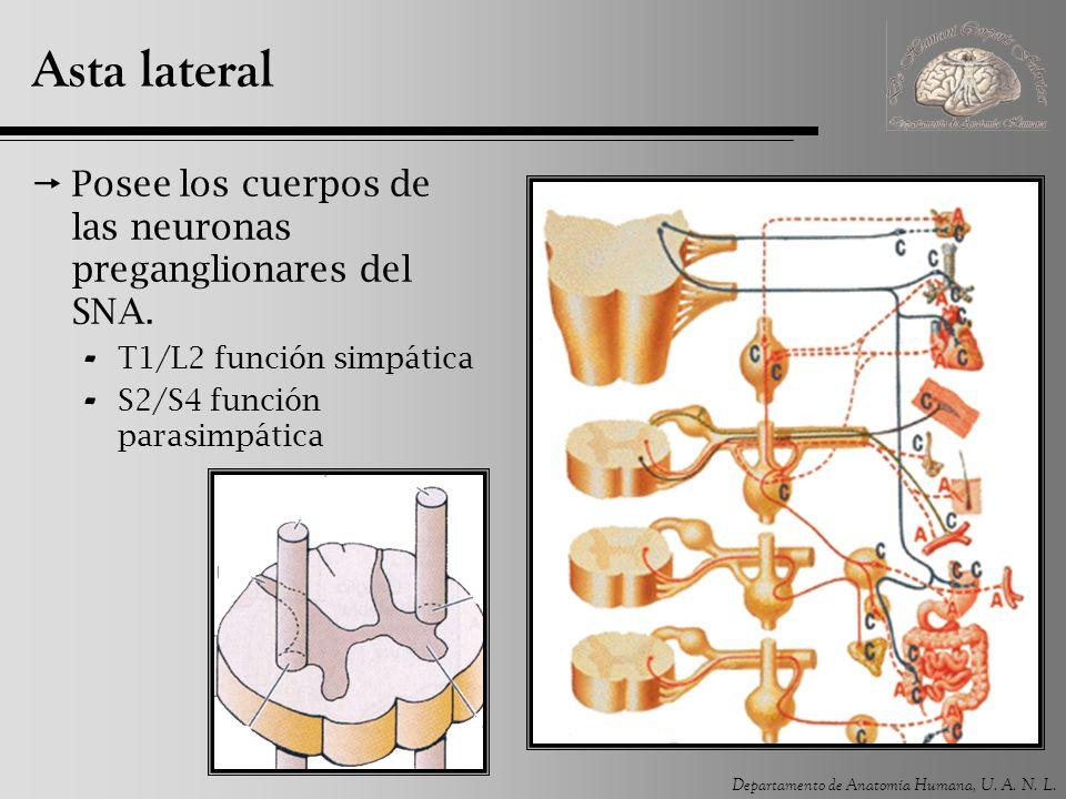 Asta lateral Posee los cuerpos de las neuronas preganglionares del SNA.