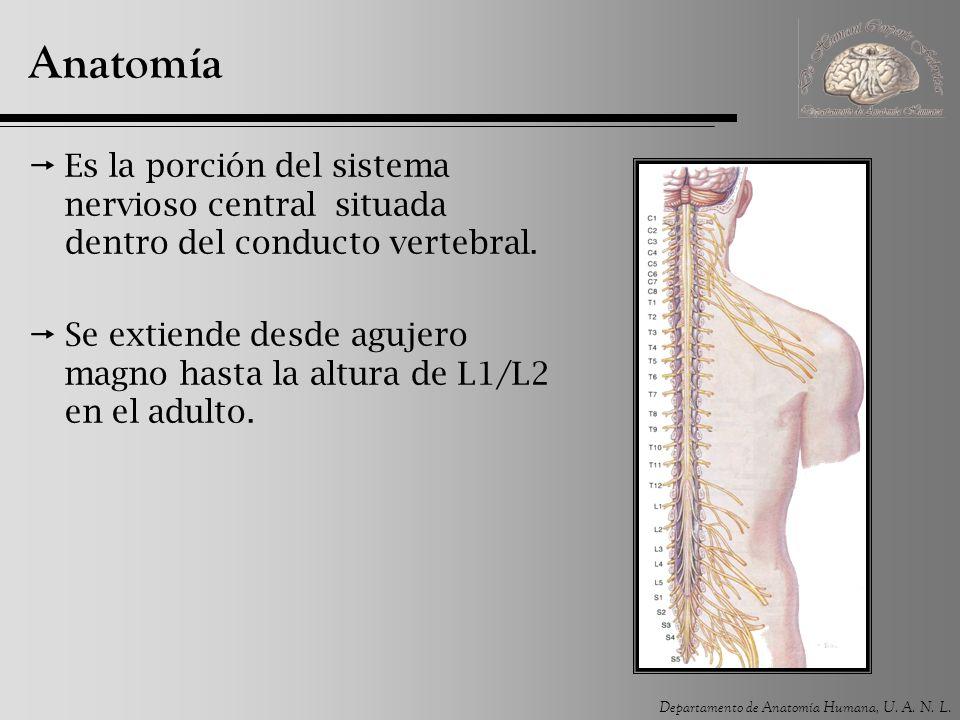Anatomía Es la porción del sistema nervioso central situada dentro del conducto vertebral.