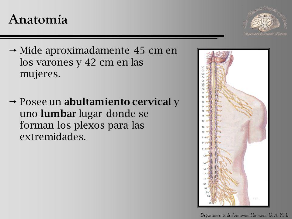 Anatomía Mide aproximadamente 45 cm en los varones y 42 cm en las mujeres.