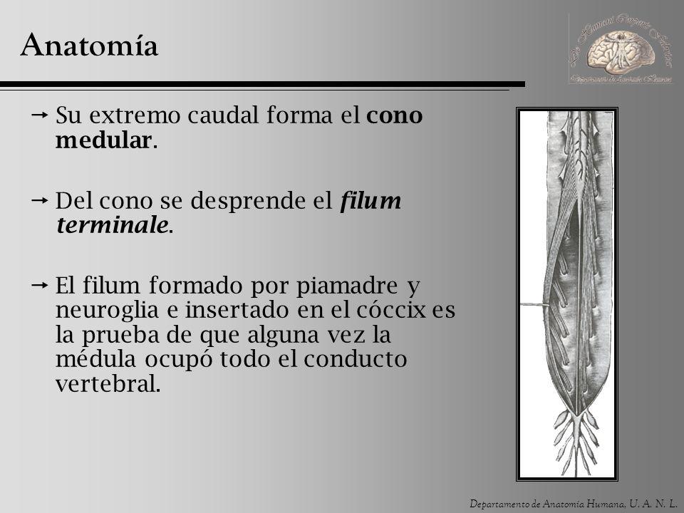 Anatomía Su extremo caudal forma el cono medular.