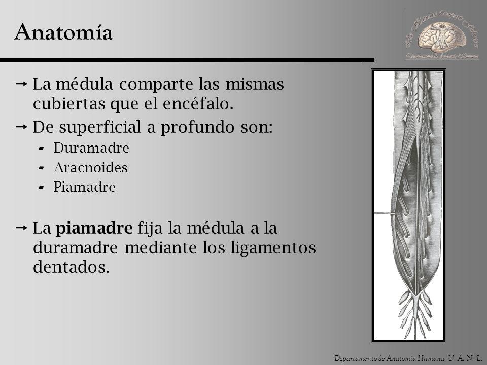 Anatomía La médula comparte las mismas cubiertas que el encéfalo.