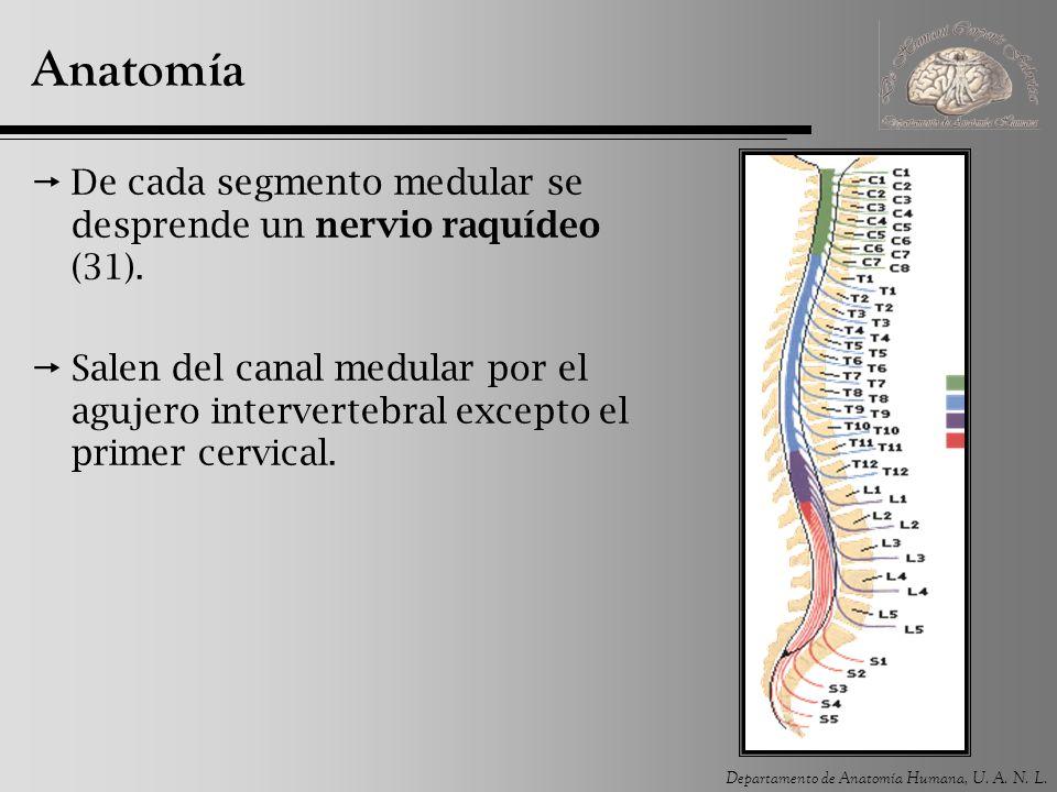 Anatomía De cada segmento medular se desprende un nervio raquídeo (31).