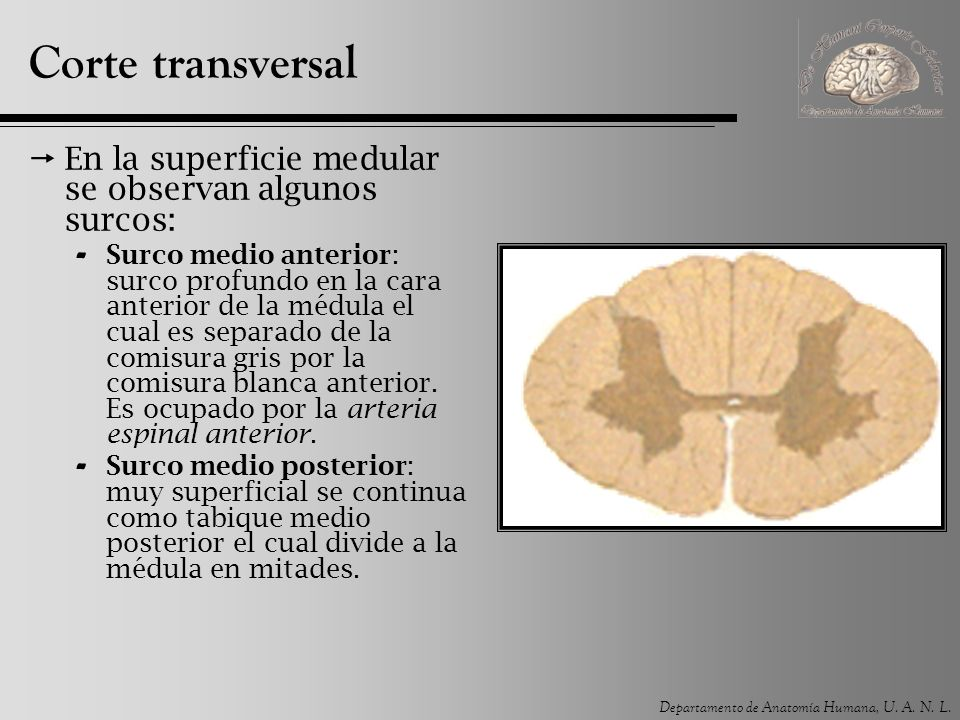 Corte transversal En la superficie medular se observan algunos surcos: