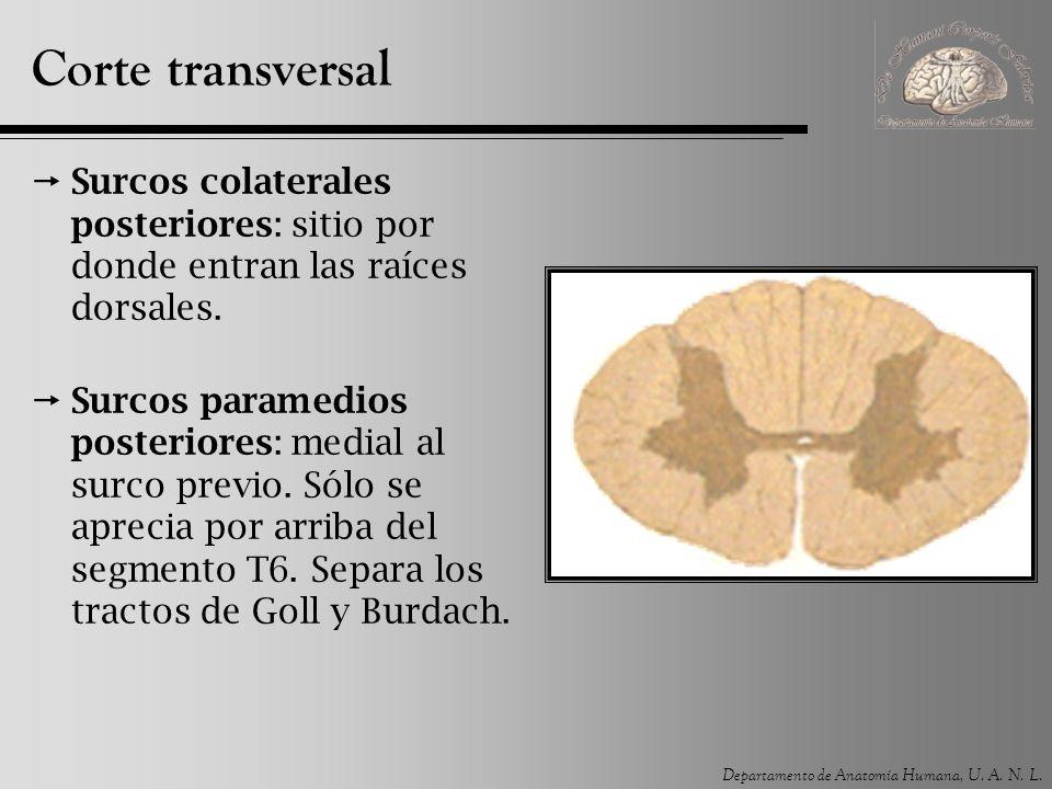 Corte transversal Surcos colaterales posteriores: sitio por donde entran las raíces dorsales.