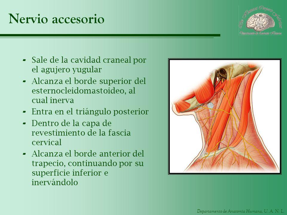 Nervio accesorio Sale de la cavidad craneal por el agujero yugular