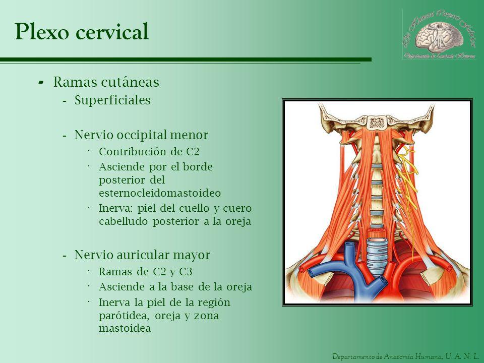 Plexo cervical Ramas cutáneas Superficiales Nervio occipital menor