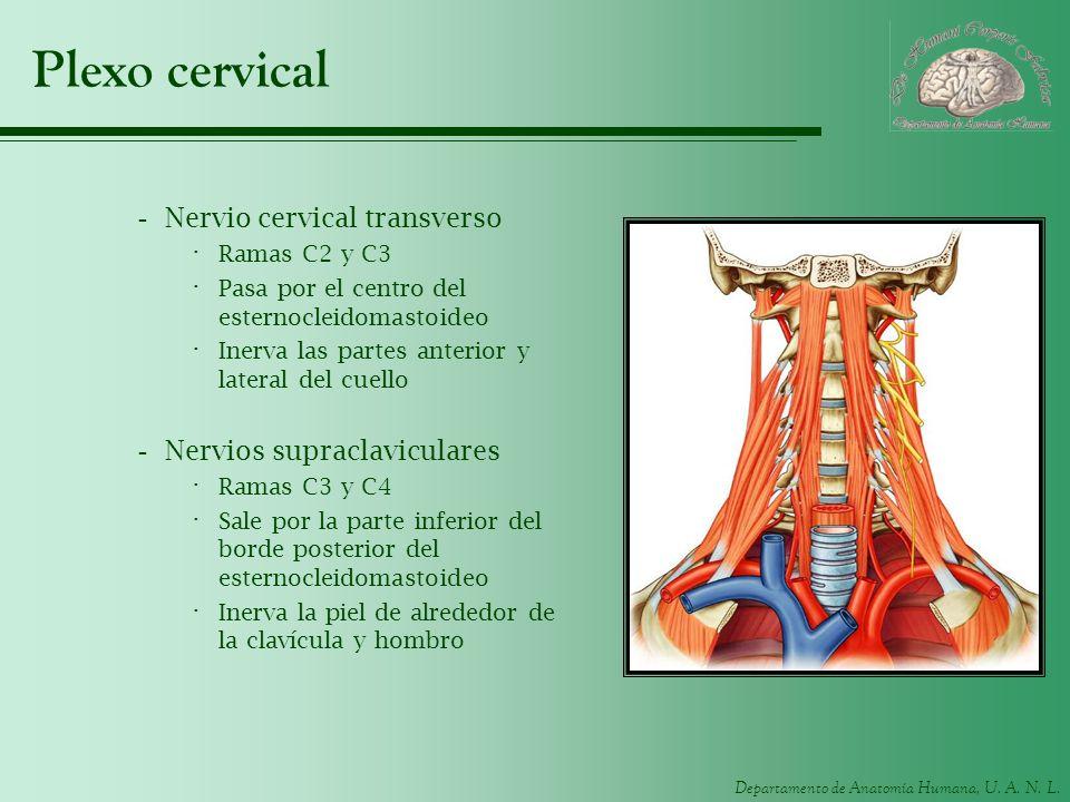 Plexo cervical Nervio cervical transverso Nervios supraclaviculares