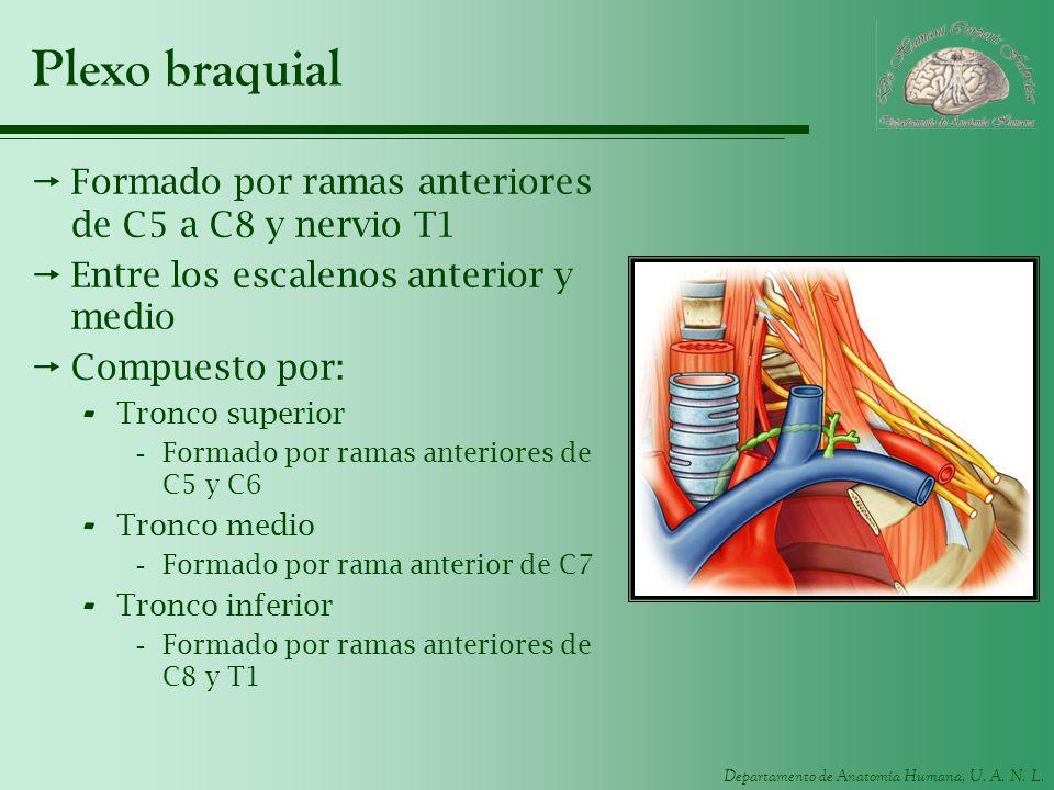 Plexo braquial Formado por ramas anteriores de C5 a C8 y nervio T1